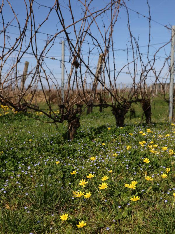 vignes fleuries du chateau pillebois